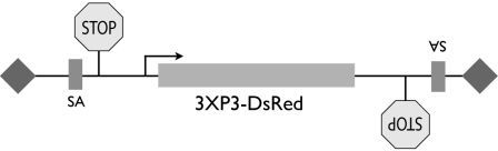 pB_vector_DsRed_SA_StopB_W-s.jpg
